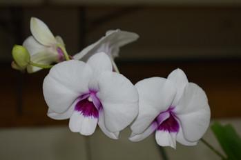 Dendrobium Hidden Money