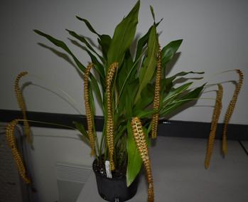Ddc. latifolium var. macranthum /Judges Choice