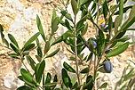 olio oliva (3).jpg