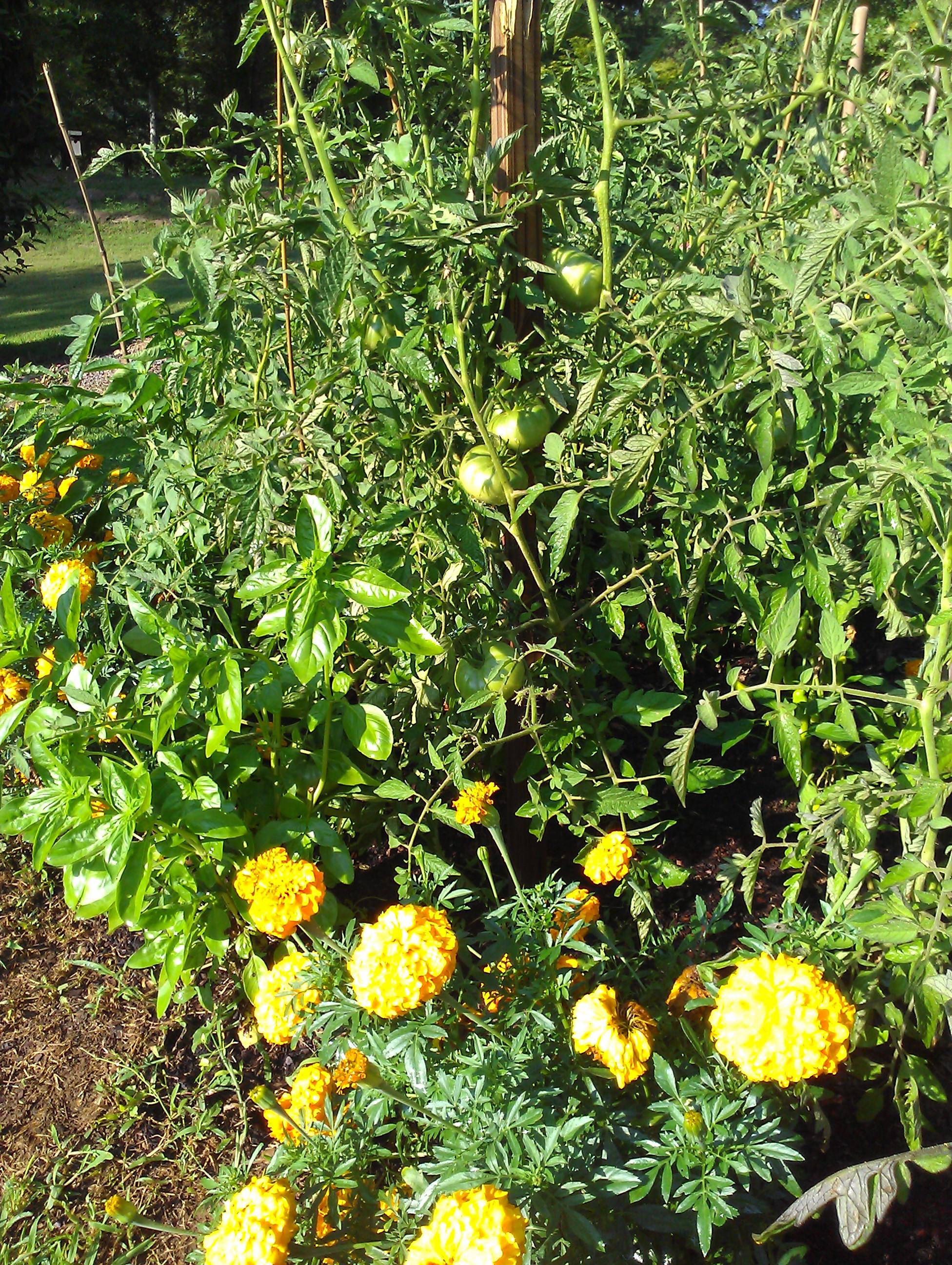 Marigolds, Basil & Tomatoes