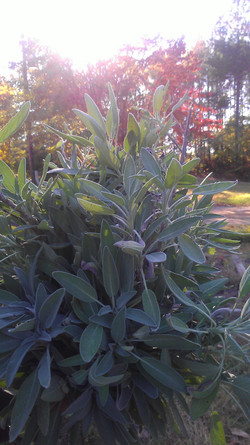 Garden Sage (Salvia Officinalis)