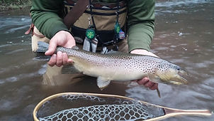 Mid 20 inch brown trout on the Little Juniata River.