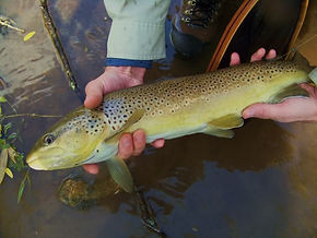 A big brown trout caught on a dry fly.