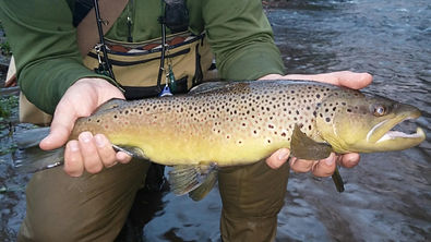 Monster brown trout on the Little Juniata River.