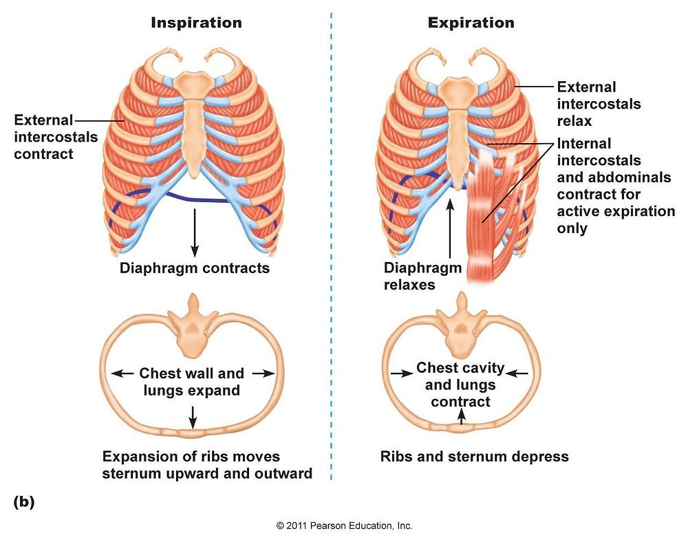 Inspiration & Expiration - The body mechanics of breathing