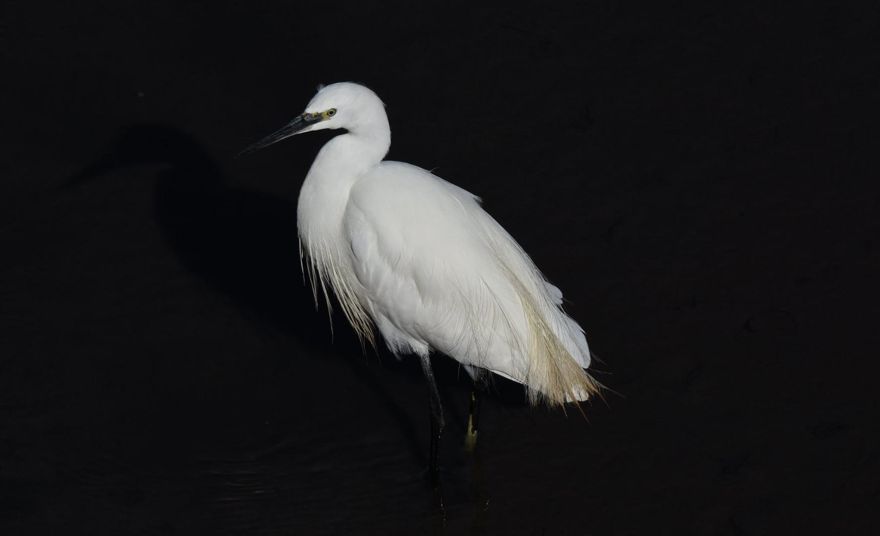 Egret in the dark