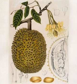 Lithograph. The fruit the flowers and the leaf of the Durio zibethinus.