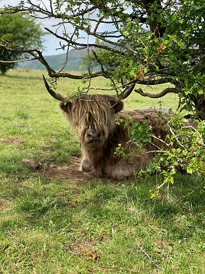 Portrait of Highland cow with hair over it's eyes and big horns resting under a tree in a green field.