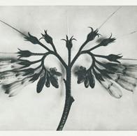 Symphytum officinale (Common Comfrey) enlarged 8 times from Urformen der Kunst (1928)  by Karl Blossfeldt. Original from The Rijksmuseum. Digitally enhanced by rawpixel.