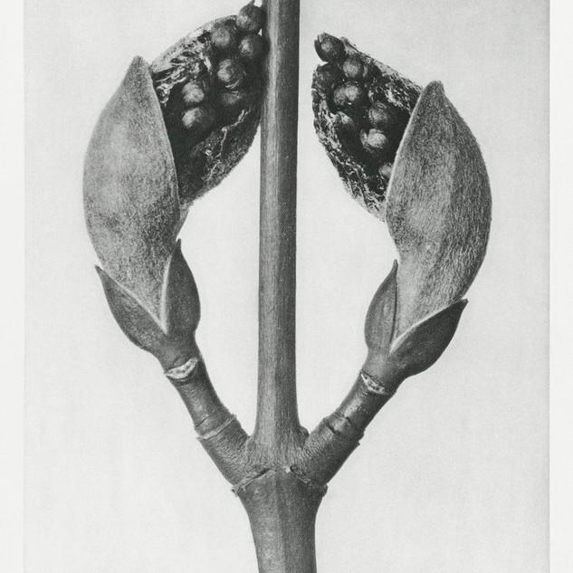 Acer Rufinerve (Maple Tree) enlarged 10 times from Urformen der Kunst (1928)