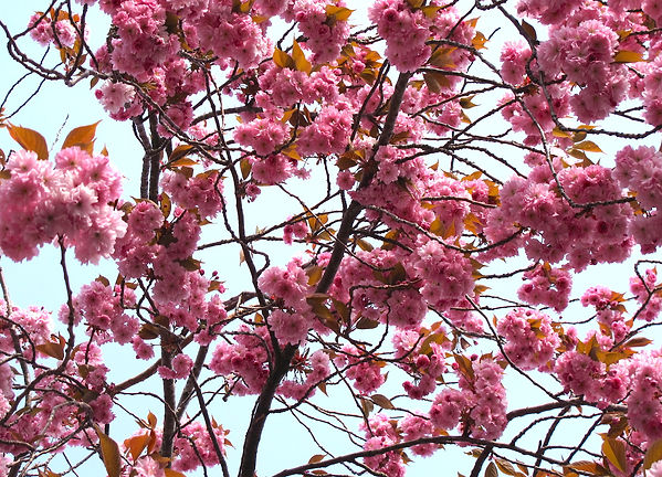 Close up of cherry blossom tree against pale blue sky