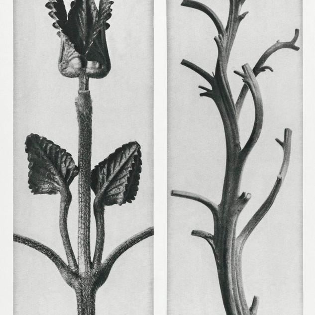Stachis Grandiflora (Big Betony) enlarged 3 times and Nicotiana Rustica (Aztec Tobacco) from Urformen der Kunst (1928)  by Karl Blossfeldt. Original from The Rijksmuseum. Digitally enhanced by rawpixel.