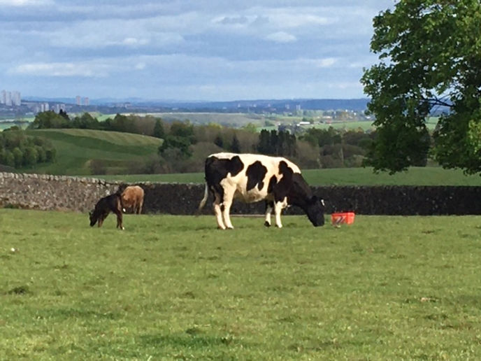 Large black and white cow grazing with draker brown calf to it's left and pale brown cow in the distance. The cows are in a field that has a small stone wall and rolling hills beyond and city buildings in the far distance.