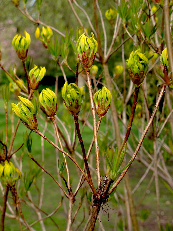 Close up of bush or plant with long thin stems and closed lime green yellow heads.