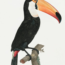 Toco toucan from Histoire Naturelle des Oiseaux de Paradis et Des Rolliers (1806) by Jacques Barraband (1767-1809). Original from The New York Public Library.