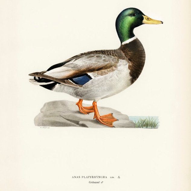 Mallard male (Anas platyrhynchos) illustrated by the von Wright brothers. rawpixel. Public Domain.