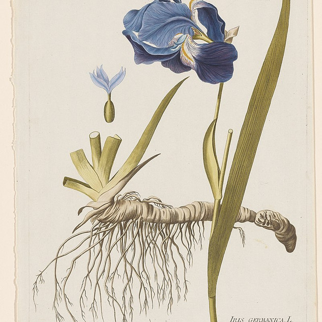 Joseph Jakob Plenck Botanical illustration of an Iris Germanica (c.1800)