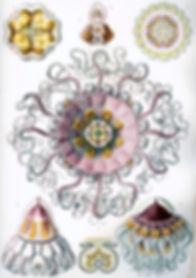 Haeckel_Peromedusae.jpg