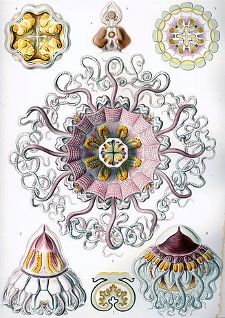 Haeckel Peromedusae. Very detailed colour illustrations of jellyfish and tentacled sea creatures.