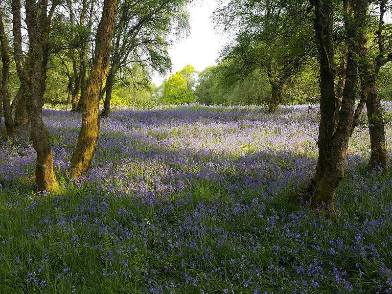 Lush Bluebell woodland, trees frame a clearing of bluebells. The light is streaking through the trees.
