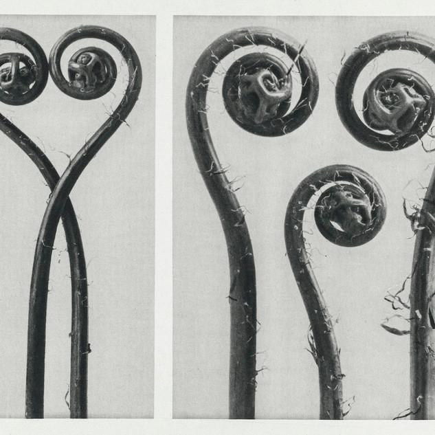 Adiantum pedatum (Northern maidenhair fern) enlarged 8 times and 12 times from Urformen der Kunst (1928