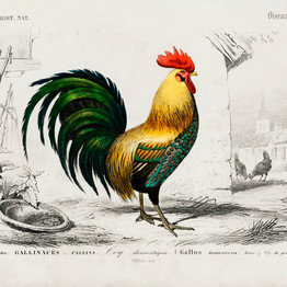 Cock illustrated by Charles Dessalines D' Orbigny (1806-1876). Digitally enhanced from our own 1892 edition of Dictionnaire Universel D'histoire Naturelle. rawpixel. Public Domain