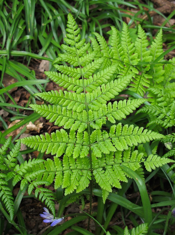 Close up of leaf of a fern growing in woodland.