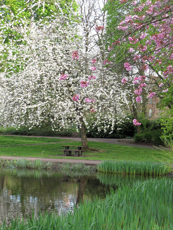 White blossom tree and cherry blossom tree by pond in Maxwell Park Glasgow.