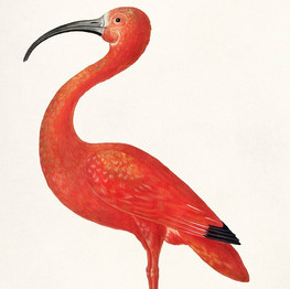 Scarlet Ibis with an Egg (1699–1700) by Maria Sibylla Merian. Original from The Rijksmuseum. Digitally enhanced by rawpixel.