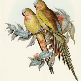 The Princess of Wales's Parakeet (Polytelis Alexandrae) illustrated by Elizabeth Gould (1804–1841) for John Gould's (1804-1881) Birds of Australia (1972 Edition, 8 volumes). rawpixel. Public Domain