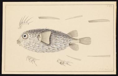 Drawings of Tetradons and Diodons (ca. 1838–42)