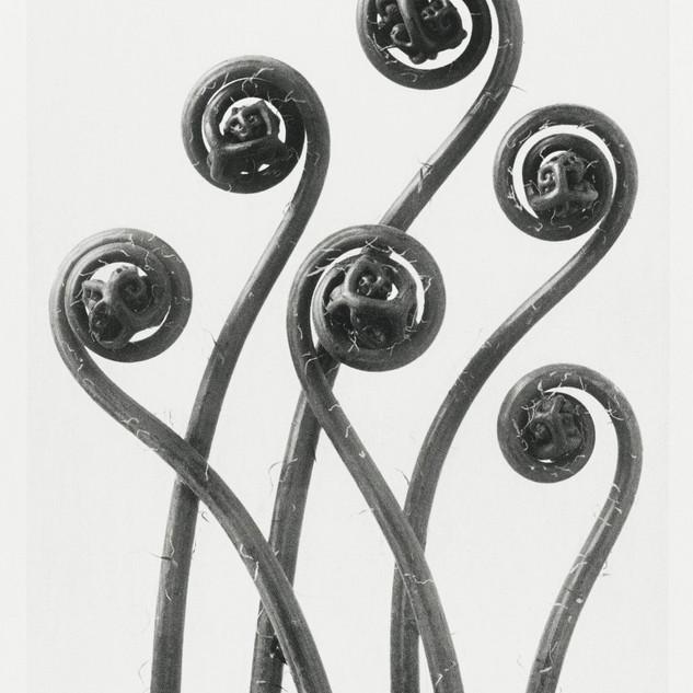 Adiantum pedatum (American Maiden-hair Fern) young fronds enlarged 8 times from Urformen der Kunst (1928)  by Karl Blossfeldt. Original from The Rijksmuseum. Digitally enhanced by rawpixel.