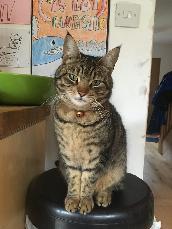 Pretty brown tabby cat with green eyes and a bell collar, perched on a kitchen stool with it's head tilted slightly to the right.