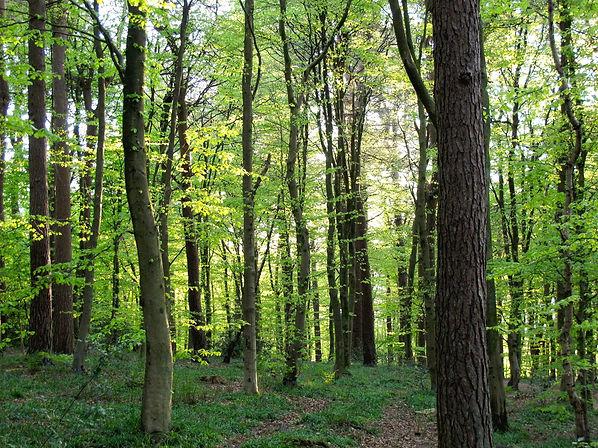 Woodland scene in Spring at Pollok Park Glasgow