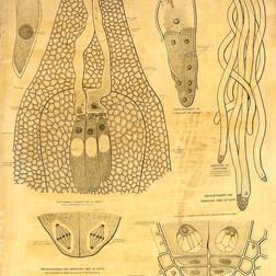 Gaston Bonnier Formation de l'oeuf et son développement chez les gymnospermes.
