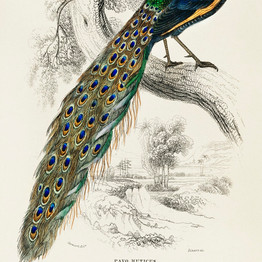 The Naturalist's Library by Sir William Jardine (1836), a majestic male peafowl portrait. rawpixel. Public Domain