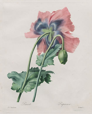 A detailed illustration of a pale pink poppy