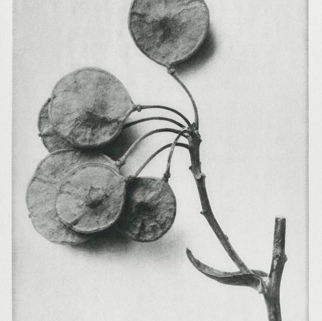 Ptelea Trifoliata (Common Hoptree) enlarged 6 times from Urformen der Kunst (1928) by Karl Blossfeldt. Original from The Rijksmuseum. Digitally enhanced by rawpixel.