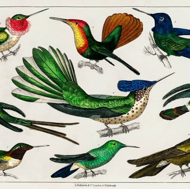 Collection of various birds from A history of the earth and animated nature (1820) by Oliver Goldsmith (1730-1774). rawpixel. Public Domain