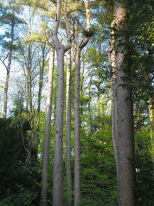 Tall thin trees and woodland at Pollok Park in Glasgow Scotland.