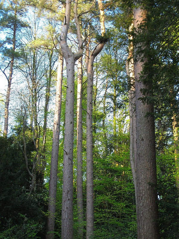 Very tall and narrow trees in dense woodland in Spring sunshine.