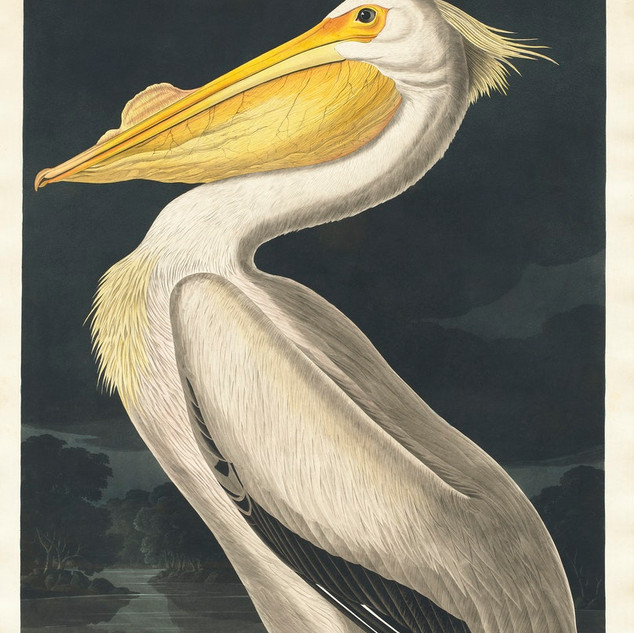 American White Pelican from Birds of America (1827) by John James Audubon, etched by William Home Lizars. Original from University of Pittsburg. rawpixel. Public Domain