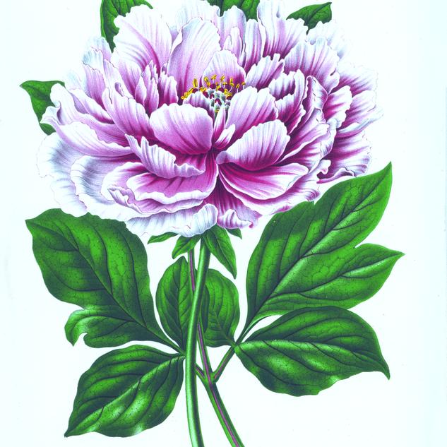Abraham Jacobus Wendel Paeonia Suffruticosa (1868)