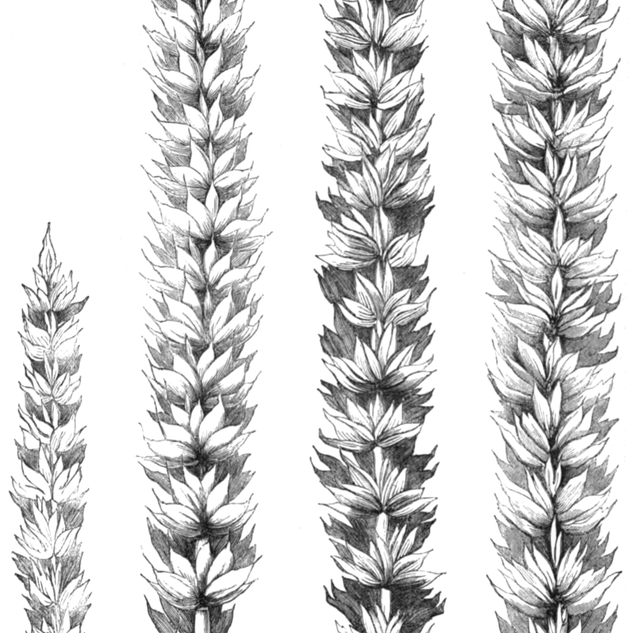 J. Dalkins Wheat (1863)