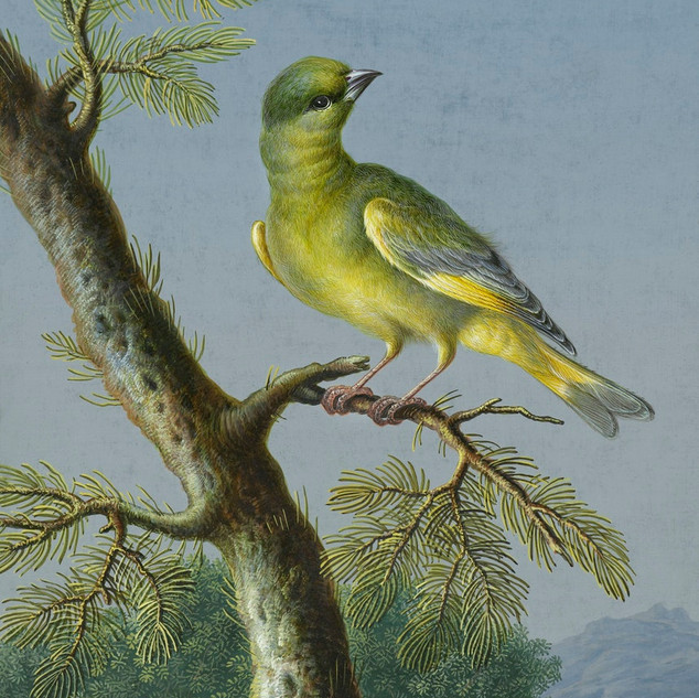 Groenling (European Greenfinch) by Barbara Regina Dietzsch (1706–1783). Original from The Rijksmuseum. Digitally enhanced by rawpixel.