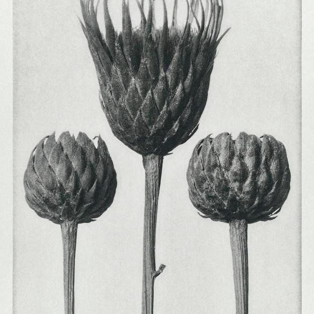 Serratula Nudicaulis (Bare–Stemmed Common Saw–Wort) enlarged 5 times from Urformen der Kunst (1928)  by Karl Blossfeldt. Original from The Rijksmuseum. Digitally enhanced by rawpixel.