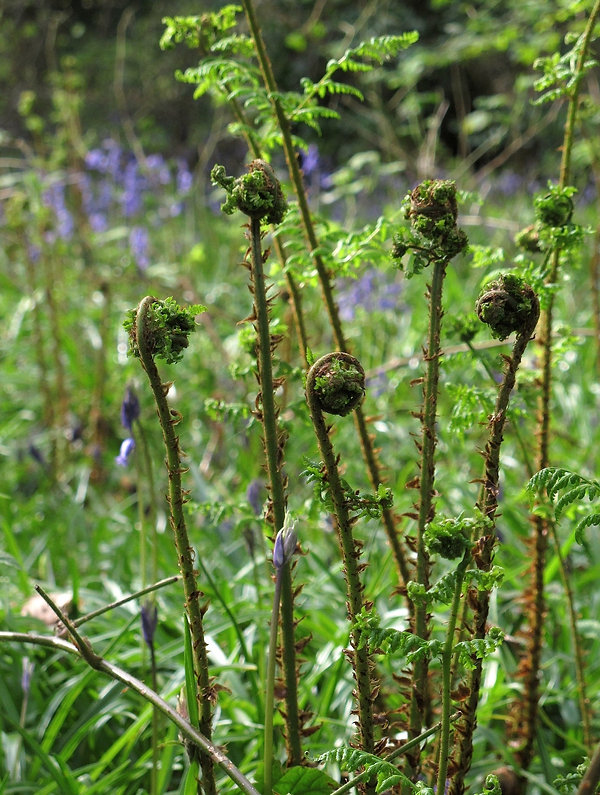 Maiden head fern, tall stems with culry heads,  growing in bluebell wood.