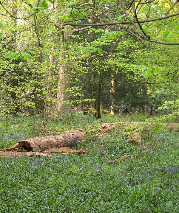 Woodland clearing with fallen tree lying across bluebells with dense trees in background.