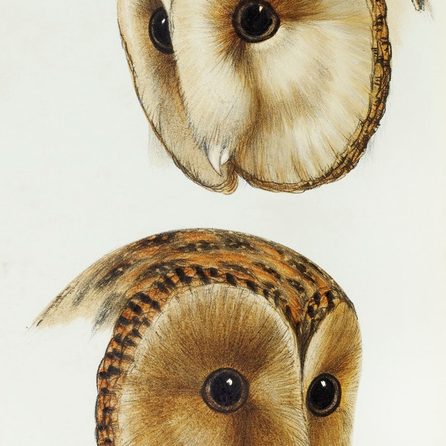 1. Masked barn owl (Strix personata) 2. Tasmanian masked owl (Strix castanops) illustrated from A Synopsis of the Birds of Australia and the Adjacent Islands (1837) by John Gould (1804-1881). rawpixel. Public Domai