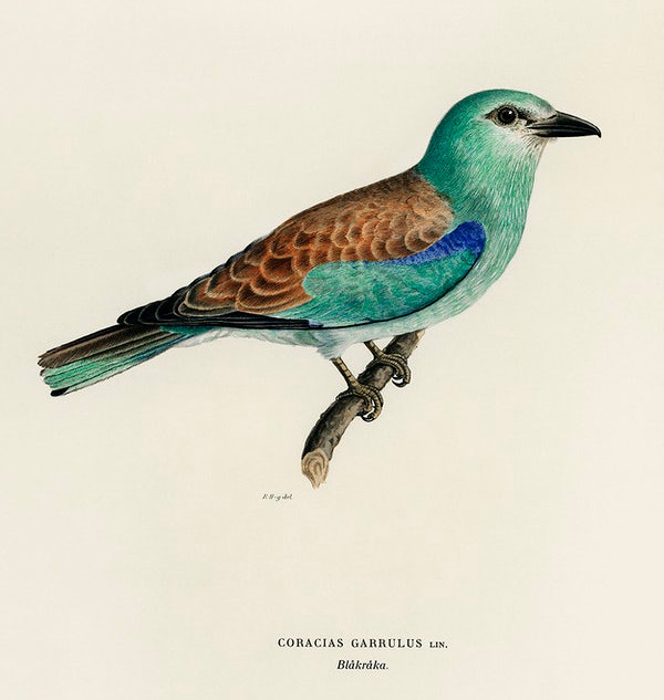 European roller (CORACIAS GARRULUS) illustrated by the von Wright brothers. rawpixel. Public Domain